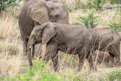 Afrikaanse africana van Loxodonta van de struikolifant Royalty-vrije Stock Afbeeldingen