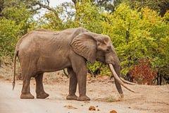 Afrikaanse africana van Olifantsloxodonta Royalty-vrije Stock Foto's