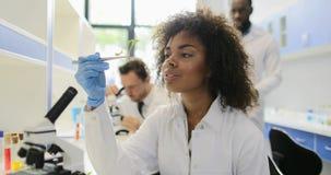 Afrikaanse Amerikaanse Wetenschapper Analyzing Plant Working in Geneticalaboratorium met Mengelingsras Team Of Researchers stock footage