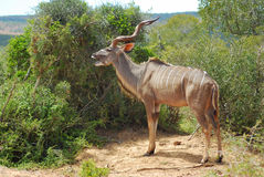 Afrikaanse antilope (Koedoe) Stock Fotografie