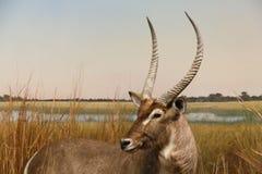 Afrikaanse Antilope in Weide royalty-vrije stock afbeelding