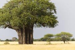Afrikaanse Baobab royalty-vrije stock foto's