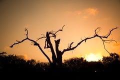 Afrikaanse boom Royalty-vrije Stock Afbeeldingen