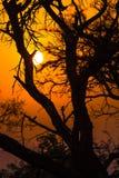 Afrikaanse boom bij zonsondergang Stock Fotografie