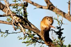 Afrikaanse Boomeekhoorn Royalty-vrije Stock Foto's