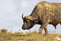 Afrikaanse Buffels Stock Foto's
