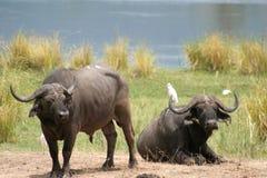 Afrikaanse Buffels stock foto