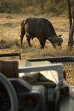 Afrikaanse buffels Royalty-vrije Stock Afbeeldingen