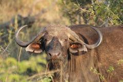 Afrikaanse Buffels Royalty-vrije Stock Fotografie