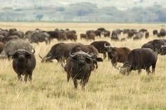 Afrikaanse Buffels Royalty-vrije Stock Foto