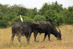 Afrikaanse buffels Stock Afbeelding