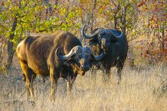 Afrikaanse buffels bij zonsondergang Stock Foto's