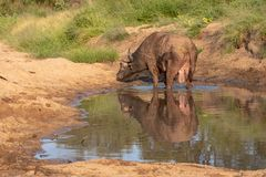 Afrikaanse Buffels door het water in de recente middagzon, die bij het Nationale Park van Kruger in Zuid-Afrika wordt gefotografe royalty-vrije stock foto's