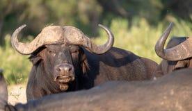 Afrikaanse Buffels door het water in de recente middagzon, die bij het Nationale Park van Kruger in Zuid-Afrika wordt gefotografe stock foto's
