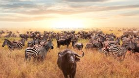 Afrikaanse buffels en zebra in de Afrikaanse savanne bij zonsondergang Serengeti nationaal park Afrikaans artistiek beeld Stock Afbeeldingen