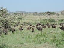 Afrikaanse buffels in het Nationale Park van Serengeti, Tanzania stock foto's