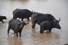 Afrikaanse buffels in Kenia Royalty-vrije Stock Afbeeldingen