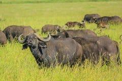 Afrikaanse buffels op de vlaktes van Serengeti Royalty-vrije Stock Afbeeldingen