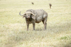 Afrikaanse Buffels in Serengeti Stock Afbeelding