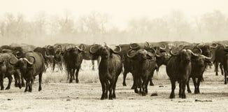 Afrikaanse Buffelskudde Stock Afbeelding