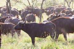 Afrikaanse Buffelskudde in de Ngorongoro-Krater, Tanzania Stock Fotografie