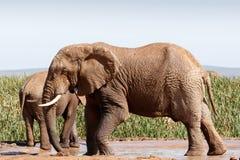 Afrikaanse Bush-Olifant - Status en het spelen in de modder Stock Foto