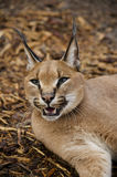 Afrikaanse Caracal Royalty-vrije Stock Foto's