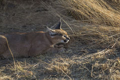 Afrikaanse Caracal Linx in Namibië Royalty-vrije Stock Foto