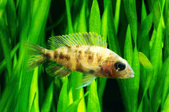 Afrikaanse cichlid Stock Afbeelding