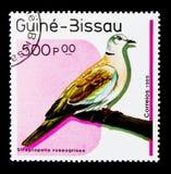 Afrikaanse Collared Duif (Streptopelia-roseogrisea), Vogels serie, c Royalty-vrije Stock Foto's