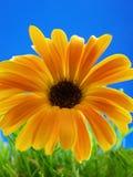 Afrikaanse Daisy Royalty-vrije Stock Foto