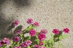 Afrikaanse Daisy, roze bloemen Royalty-vrije Stock Foto's
