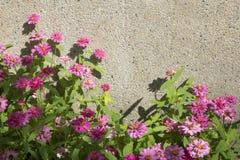 Afrikaanse Daisy, roze bloemen Stock Foto's