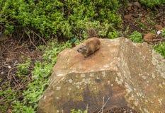Afrikaanse daman zitting op een grote steen in oostelijk Kenia royalty-vrije stock foto