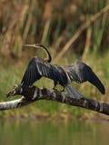 Afrikaanse Darter Stock Afbeeldingen