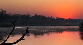 Afrikaanse darterzitting op boomstomp in vijver bij zonsondergang Royalty-vrije Stock Foto