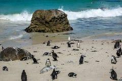 Afrikaanse demersus van pinguïnenspheniscus bij Keienstrand, Zuid-Afrika Royalty-vrije Stock Fotografie