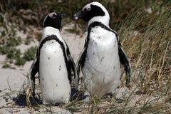Afrikaanse demersus van pinguïnspheniscus Stock Foto