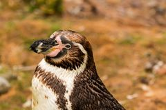 Afrikaanse demersus van pinguïnspheniscus royalty-vrije stock fotografie
