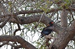 Afrikaanse die adelaar in een boom wordt neergestreken Royalty-vrije Stock Afbeelding