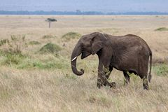 Afrikaanse die olifant in de weiden van Masai Mara, Kenia wordt geïsoleerd royalty-vrije stock fotografie