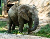 Afrikaanse die olifant in droge modder voor bescherming tegen zon wordt behandeld Stock Foto