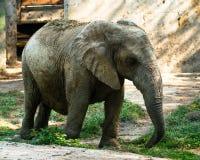 Afrikaanse die olifant in droge modder voor bescherming tegen zon wordt behandeld Royalty-vrije Stock Afbeelding