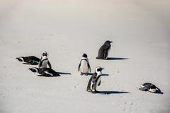 Afrikaanse die pinguïnen, ook als Domoorpinguïnen worden bekend op het strand Royalty-vrije Stock Foto's