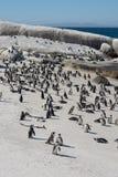 Afrikaanse die pinguïnen, ook als Domoorpinguïnen worden bekend op het strand Stock Foto's