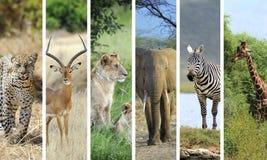 Afrikaanse dieren Stock Fotografie