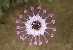 Afrikaanse Draaimolenlepel Daisy Flower royalty-vrije stock foto's