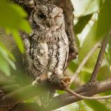 Afrikaanse Dwergooruil, African Scops-Owl, Otus senegalensis royalty free stock photography