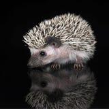 Afrikaanse Egel in de donkere fotostudio Stock Afbeeldingen