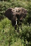 Afrikaanse elefant stock fotografie